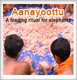 Aanayoottu-A feeding ritual for elephants