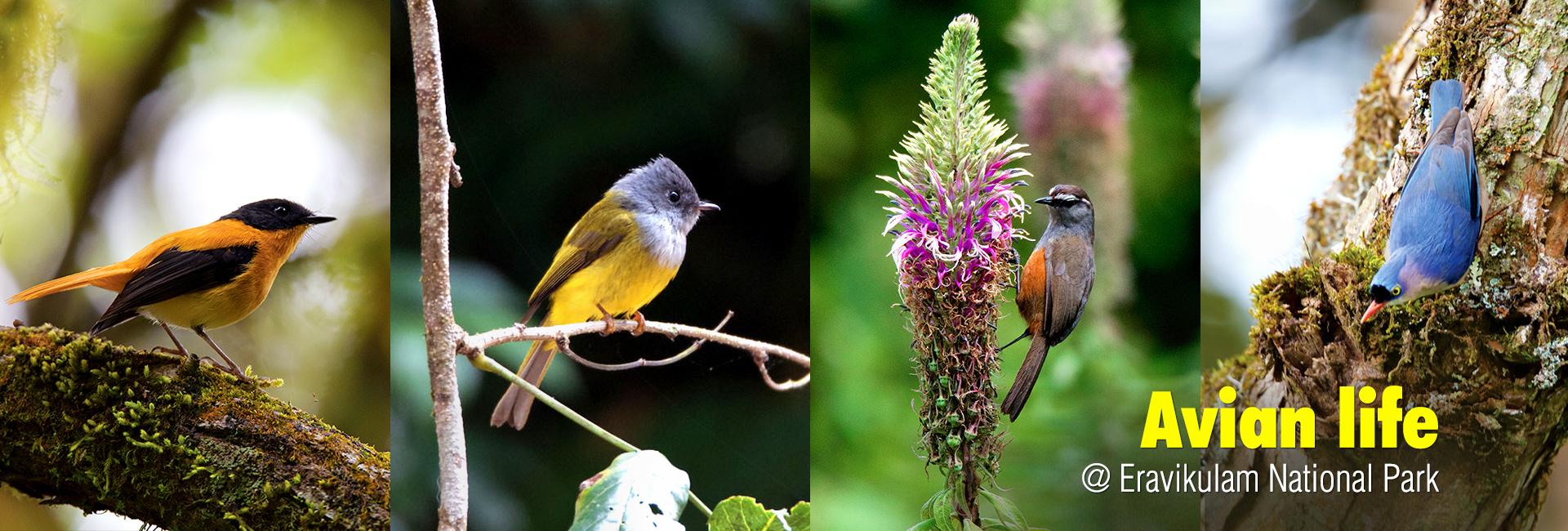 Birds Eravikulam