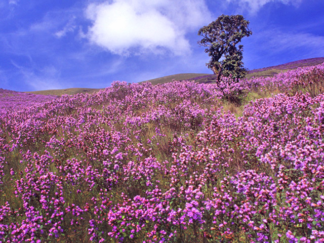 Neelakurinji Blooms Again