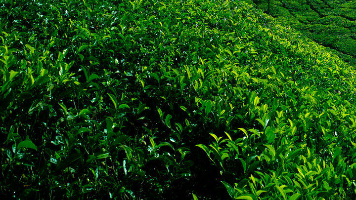 Kolukkumalai - the highest tea garden in India at Munnar, Idukki