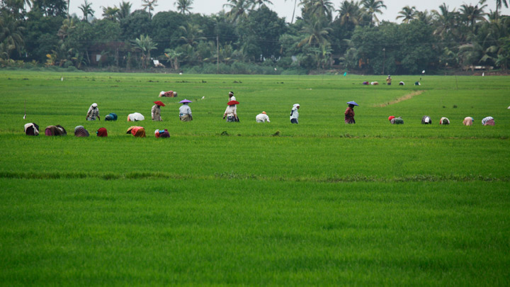 Kuttanad - the Rice Bowl of Kerala