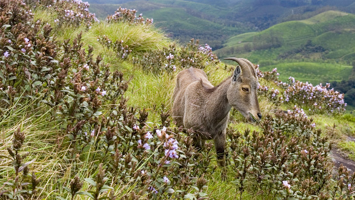 Neelakurinji flowers on the hills of Munnar