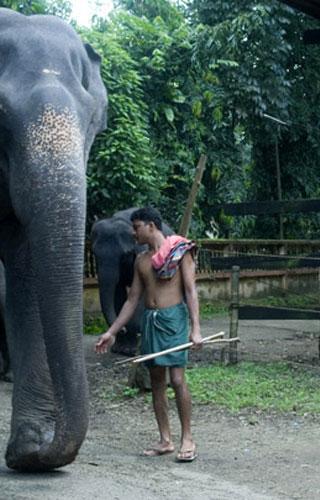 Centre de formation des éléphants à Kodanad
