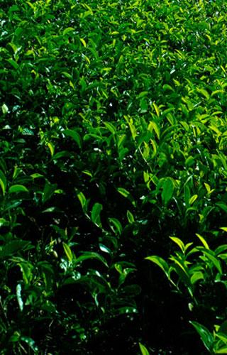 Kollukkumallay - the highest tea garden in India