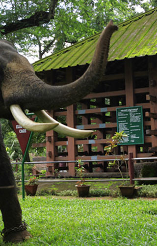 Konni Elephant Training Centre in Pathanamthitta
