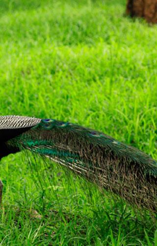 تشولانور محمية طبيعية للطاووس، بالخكد