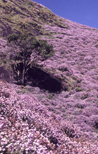 Neelakurinji Flower Blooming