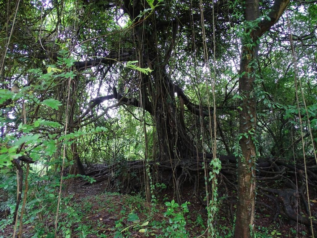 Sacred Grove near Valiyaparamba