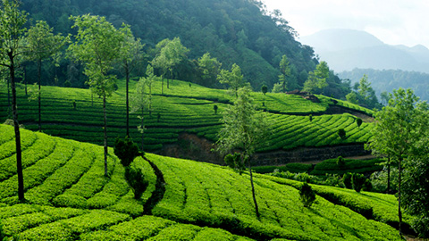 Tea Trail at Kolukkumalai