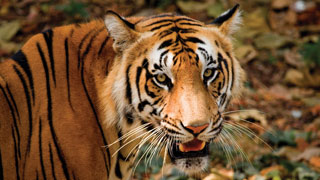 A Tiger in Thiruvananthapuram Zoo