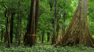 कन्नोलि प्लॉट सागौन के वन