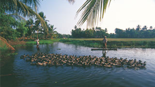 Duck farming in the Backwaters