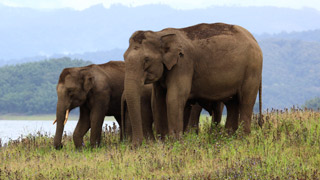 أفيال في محمية النمر يارامبيكولام