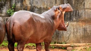 Hippopotamus, Thrissur Zoo