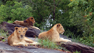 Lions at Neyyar Safari Park