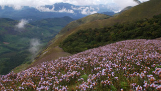 Neelakurinji flowers, Munnar