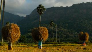 Paddy harvest, Palakkad