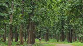 Bosque de teca