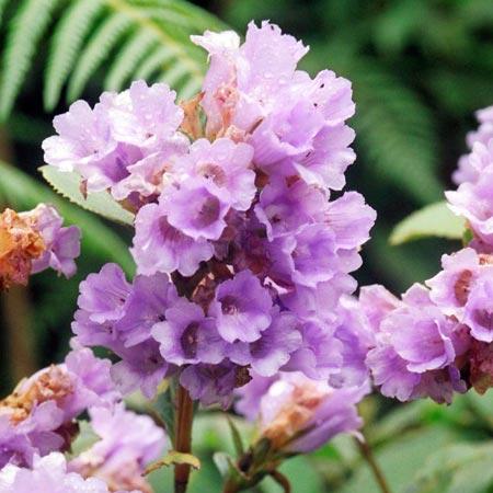 Neelakurinji Blooming Season from August 2018 to October
