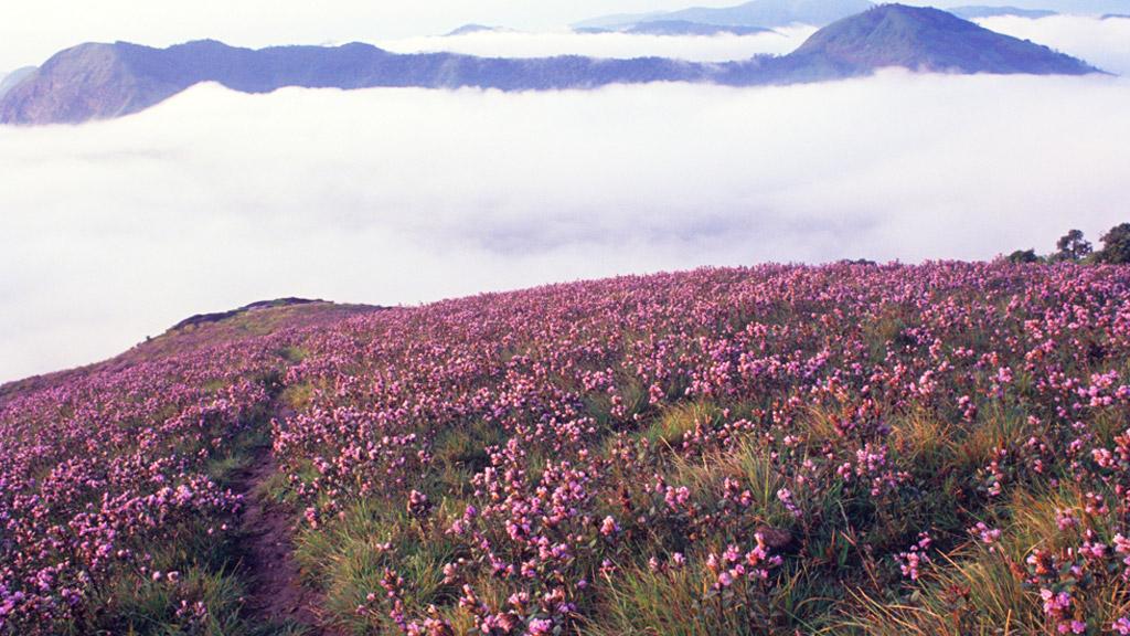 Blooming of Neelakurinji