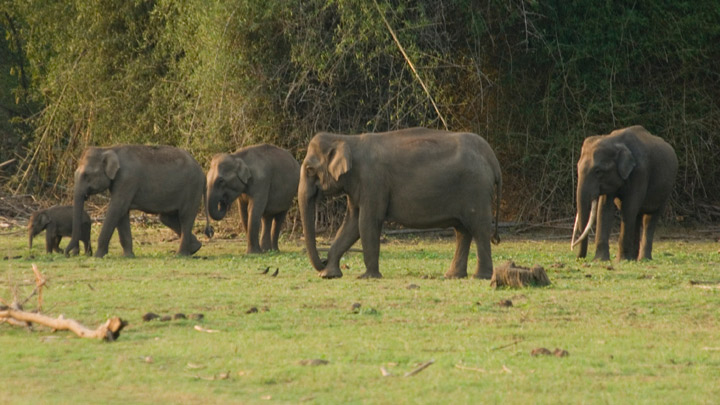 Elephant Herds at Begur Wildlife Sanctuary