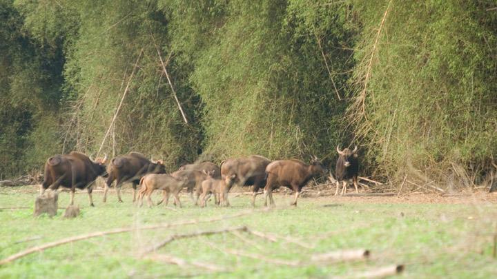 Gaur herds at Begur