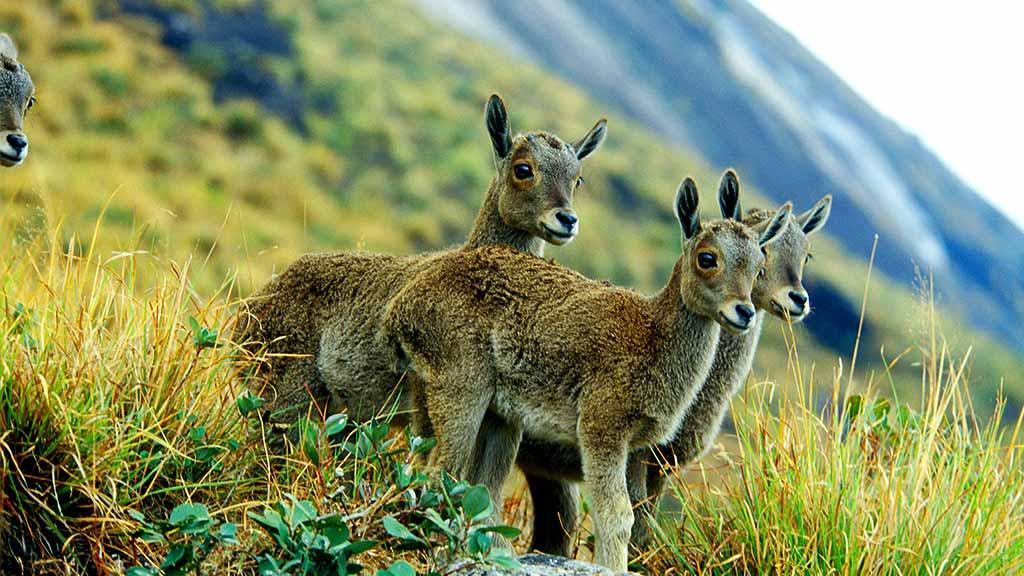 Nilgiri Tahr and the Eravikulam National Park