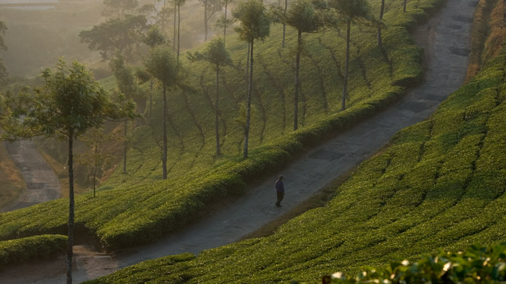 Tea Gardens of Idukki