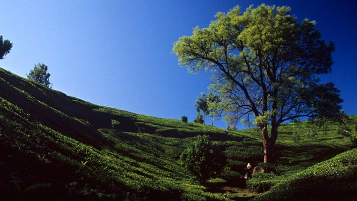 Tea Plantations Visuals from Munnar