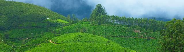 Rolling hills of tea plants, Munnar