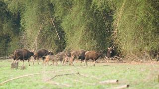 Gaur troupeaux à Begur