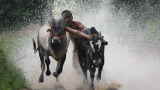 Maramadi Bull Surfing