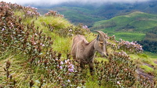 Neelakurinji and Nilgiri Tahr in Munnar