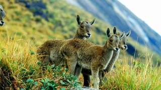 Nilgiri Tahr and the Eravikulam National Park