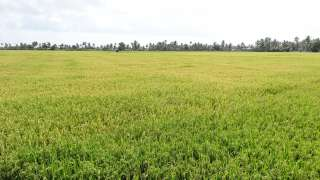 Paddy Fields of Alappuzha
