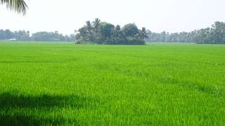 Paddy fields in Kavalam