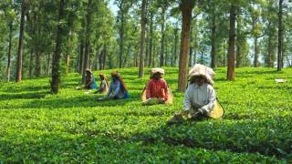 Priyadarshini Tea Plantation