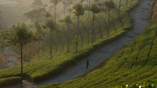 Tea Gardens of Idukki