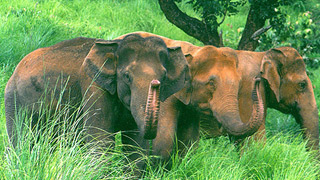 The Great Indian Elephants