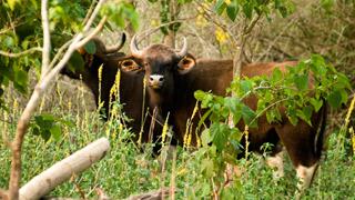 Wayanad - un troupeau de Gaur indien