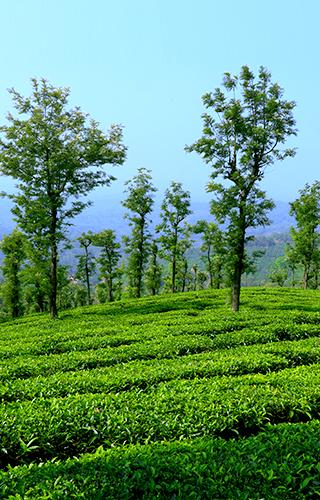 Wayanad Tea, Coffee Plantations