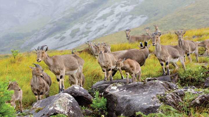 Wild Goats in Eravikulam National Park