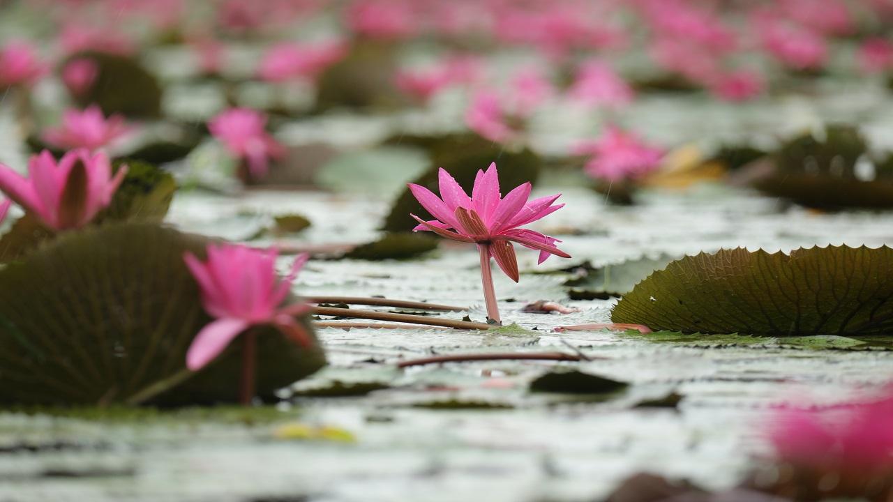 Malarikkal Water Lilies @ Kottayam #Malarikkal