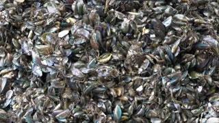 Mussel farming in Padanna Estuary